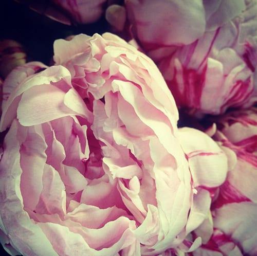 Fairy-Nuff-Flowers-Steph-Turpin-Peonies