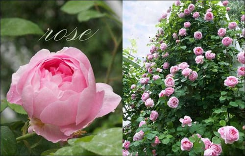 Flowers-by-Carolyne-Roehm-Roses