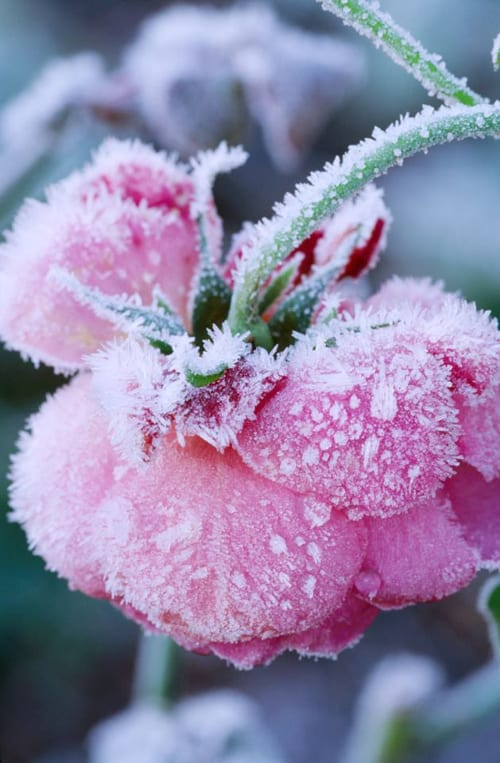 Frosted-Pink-Rose-Clive-Nichols