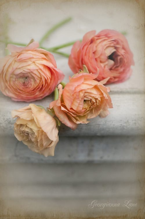 Georgianna-Lane-Ranunculus