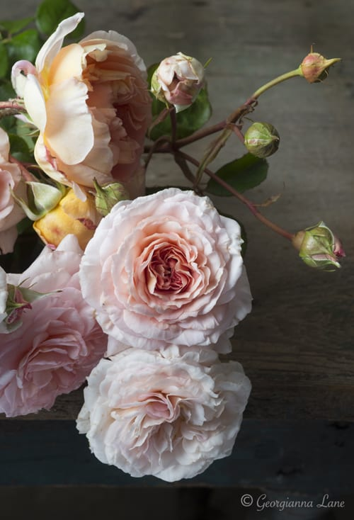 Roses-Georgianna-Lane