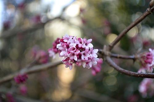 Viburnum-x-bodnantense-Dawn-Ann-Rafalko