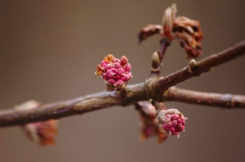 Viburnum-x-bodnantense-Dawn-AnneTanne-Flickr