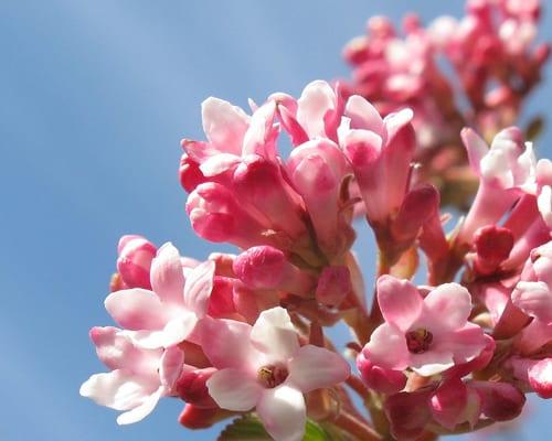 Viburnum-x-bodnantense-Dawn-TieGuyII-Flickr