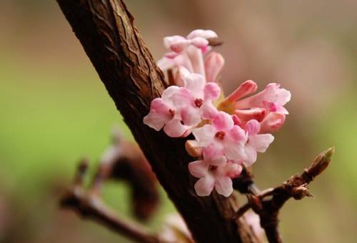 Viburnum-x-bodnantense-Dawn-flower-Lisa Cox