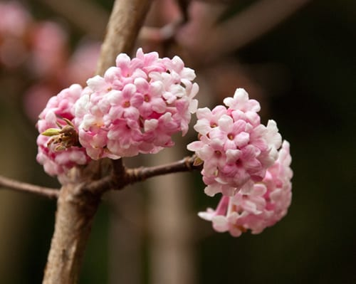 garden flowers viburnum x bodnantense 39 dawn 39 a pretty. Black Bedroom Furniture Sets. Home Design Ideas