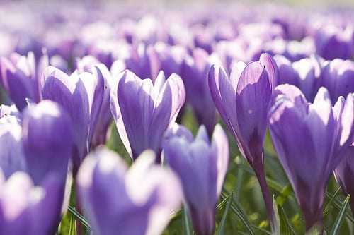 Crocuses Flickr thanq