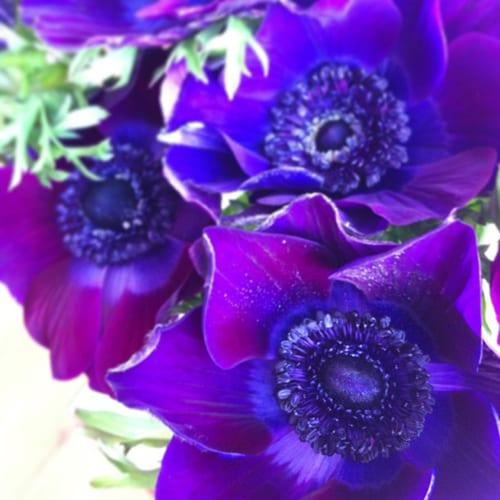 Anemones-Flowerona