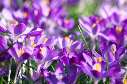 Crocuses-Flickr-kh1234567890