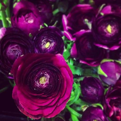 Purple-Ranunculus-Flowerona