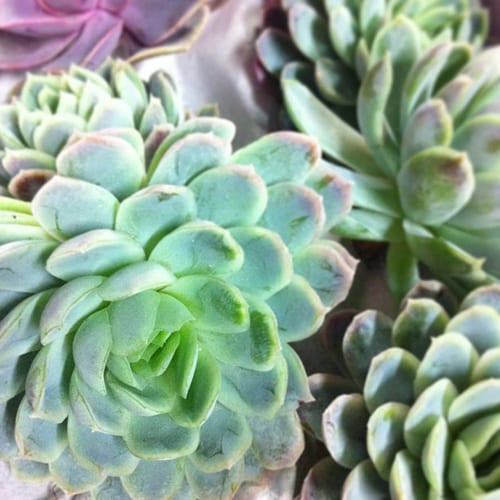 Succulents-Flowerona