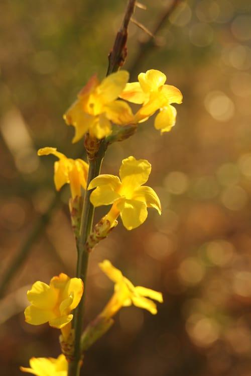Garden Flowers Bright Yellow Flowers On Bare Stemse Winter Jasmine