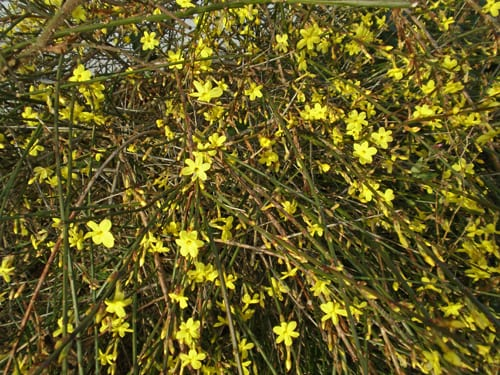 Garden Flowers: Bright yellow flowers on bare stems…the Winter Jasmine
