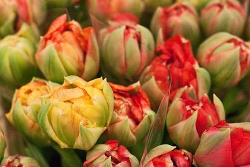 2013-03-1_Double-tulips-Flowerona