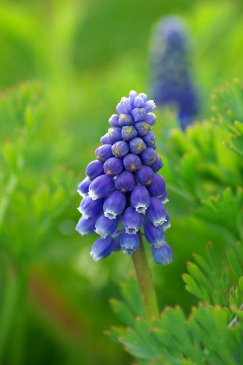 garden flowers muscari the grape hyacinth flowerona. Black Bedroom Furniture Sets. Home Design Ideas