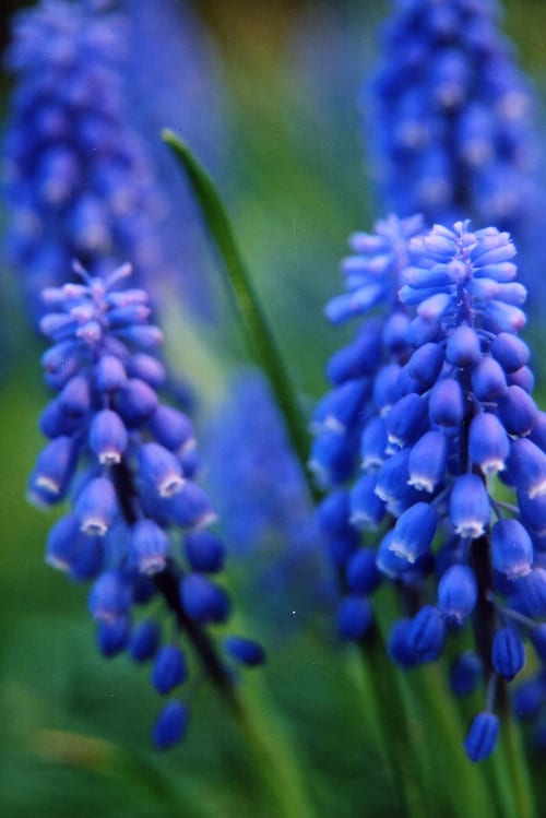 Garden Flowers Muscari The Grape Hyacinth Flowerona