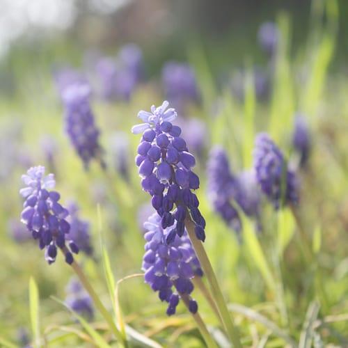 Flickr-kataaca-grape-hyacinth
