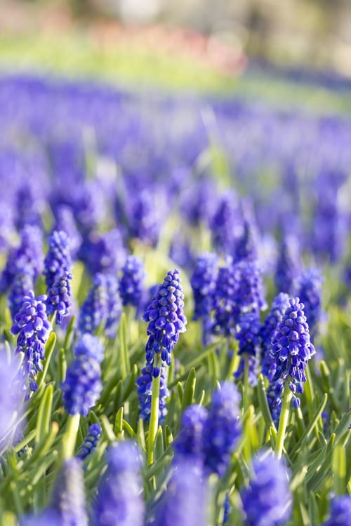 Flickr-yasa-grape-hyacinth