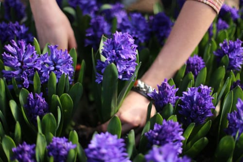 Floret-Flower-Farm-Blue-Hyacinths