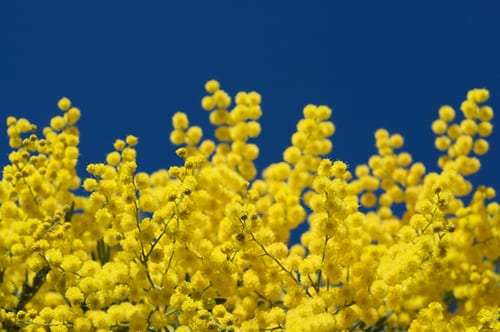 mimosa-flickr-eric-hunt-1