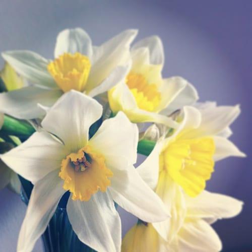 Daffodils-Flowerona