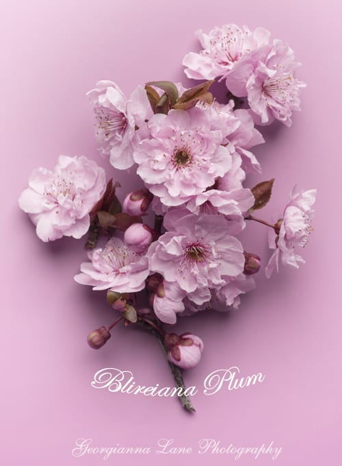 Georgianna-Lane-Plum-Blossom