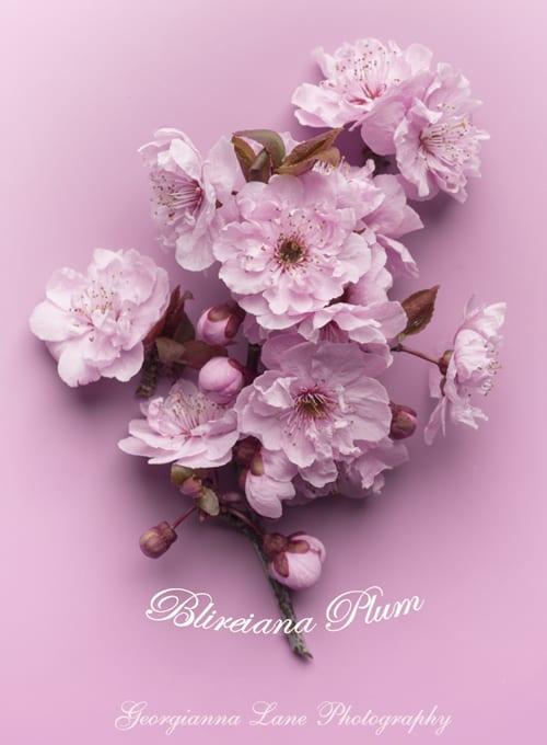 Georgianna-Lane-Plum-Blossom