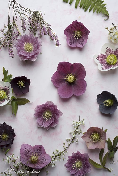 Hellebores-Georgianna-Lane