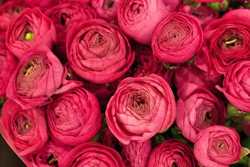 Pink Ranunculus-Flowerona
