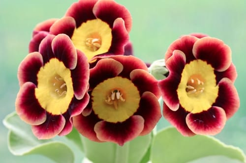 Woottens-of-Wenhaston-Auriculas