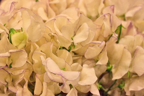 New-Covent-Garden-Flower-Market-May-Report-Flowerona-Sweet Peas