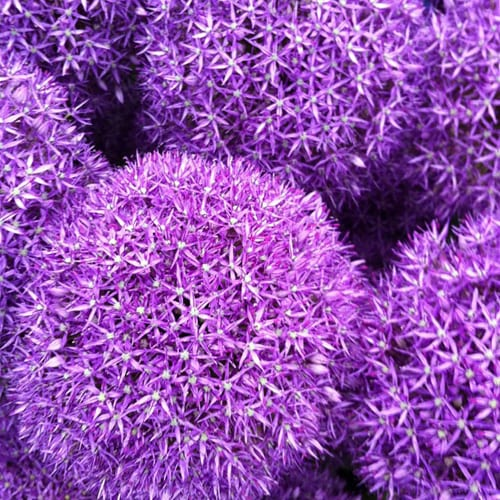 Alliums-Flowerona