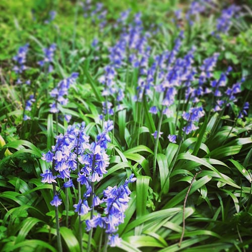 Bluebells-in-Woods-Flowerona