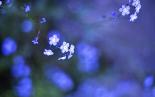 Flickr-TearShade-Forget Me Nots