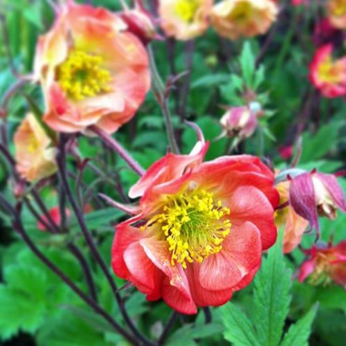 Geums-Flowerona