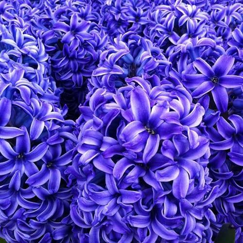 Hyacinths-Flowerona