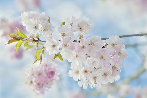 Jacky Parker Blossom
