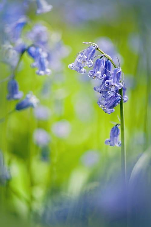 Jacky-Parker-Spring-Bells