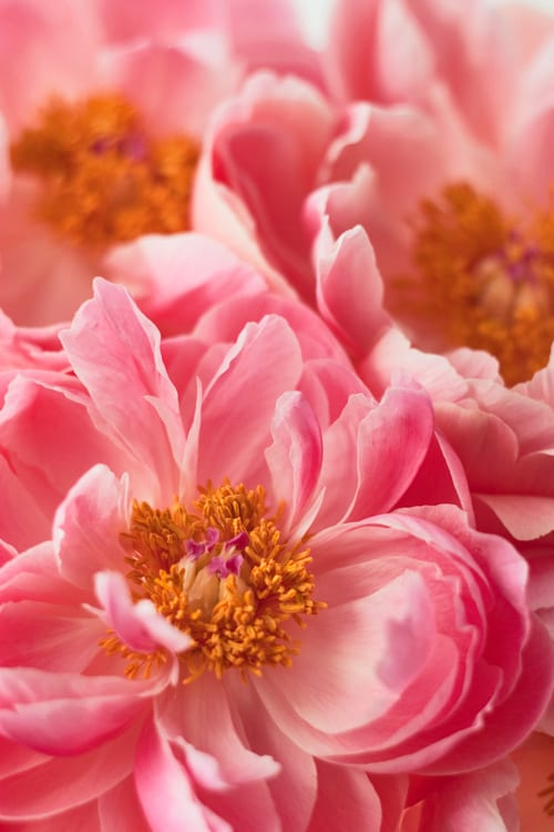 Peony-Flowerona