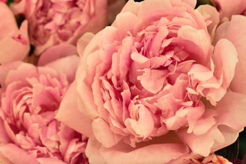 Peony-New-Covent-Garden-Flower-Market-Flowerona-2