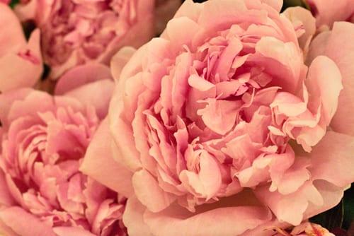 Peony-New-Covent-Garden-Flower-Market-Flowerona-2