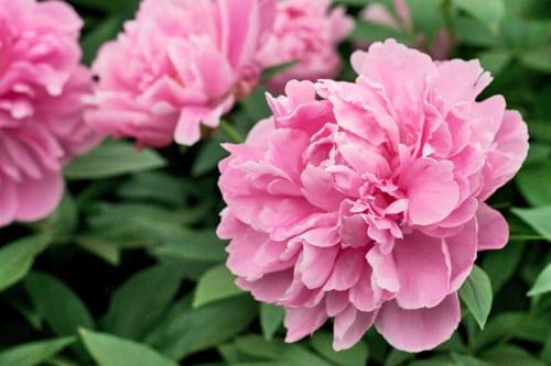 RHS-Chelsea-Flower-Show-Kelways-Dr-Alexander-Fleming-Peony-Flowerona