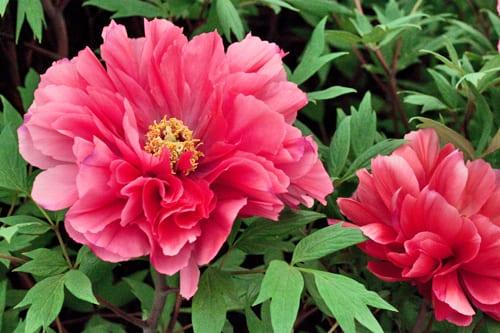 RHS-Chelsea-Flower-Show-Kelways-Duchess-of-Kent-Peony-Flowerona