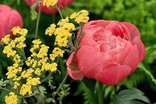 RHS-Chelsea-Flower-Show-Kelways-Rebel-Rebel-Flowerona-6
