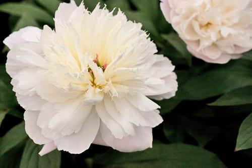 RHS-Chelsea-Flower-Show-Kelways-Shirley-Temple-Peony-Flowerona