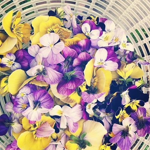Violas-&-Pansies-Flowerona