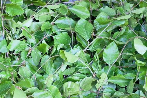 Beech-Foliage-New-Covent-Garden-Flower-Market-Flowerona