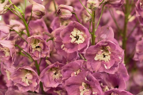 Delphiniums-New-Covent-Garden-Flower-Market-Flowerona