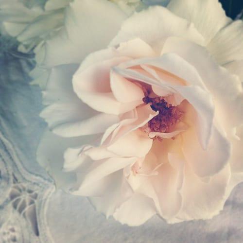 Margaret-Merril-Rose-Flowerona