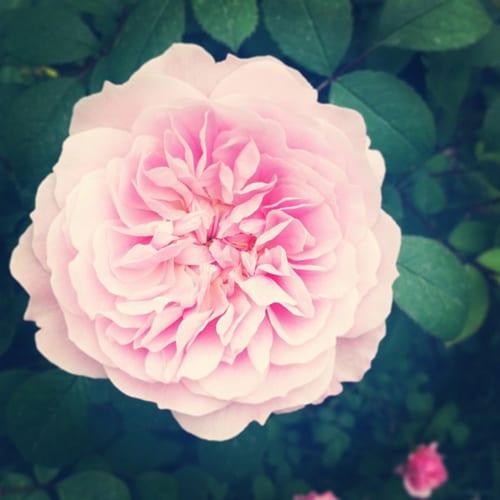 Flowerona Reflects: symphonies & sweet peas
